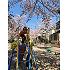 呑川緑道の桜並木